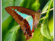 blue triangle butterfly by philip christensen 20140415 1863544448