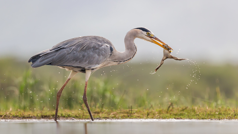 Grey heron with frog by Craig Parker