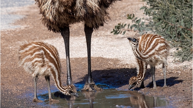 Emu Dad and his Chicks