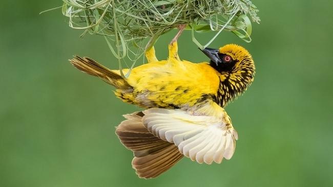 Weaver nest construction 04