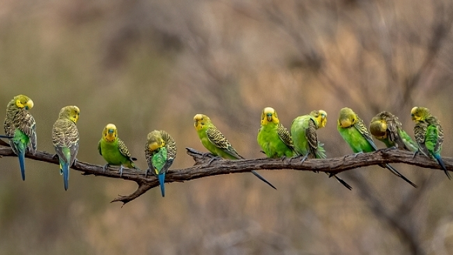 the Budgie Branch