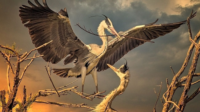 Herons Nest Building at Sunset