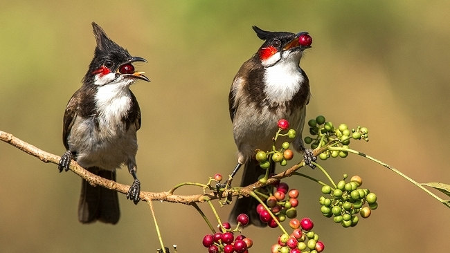 Red_whiskered_bulbul_pair
